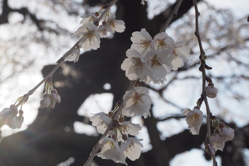桜 しだれ 山田 奥 の