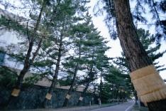 藤川の松並木